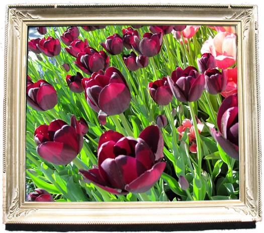 tulip_portraits_queen.jpg
