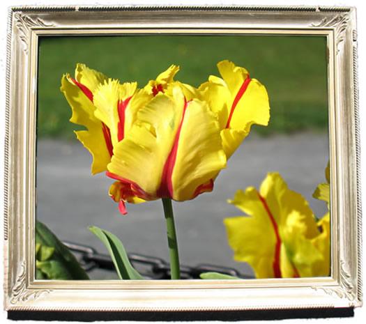 tulip_portraits_texas_flame.jpg