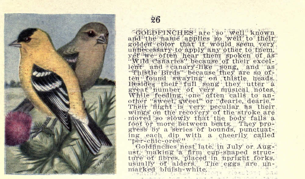 wild_birds_of_new_york_goldfinch.jpg