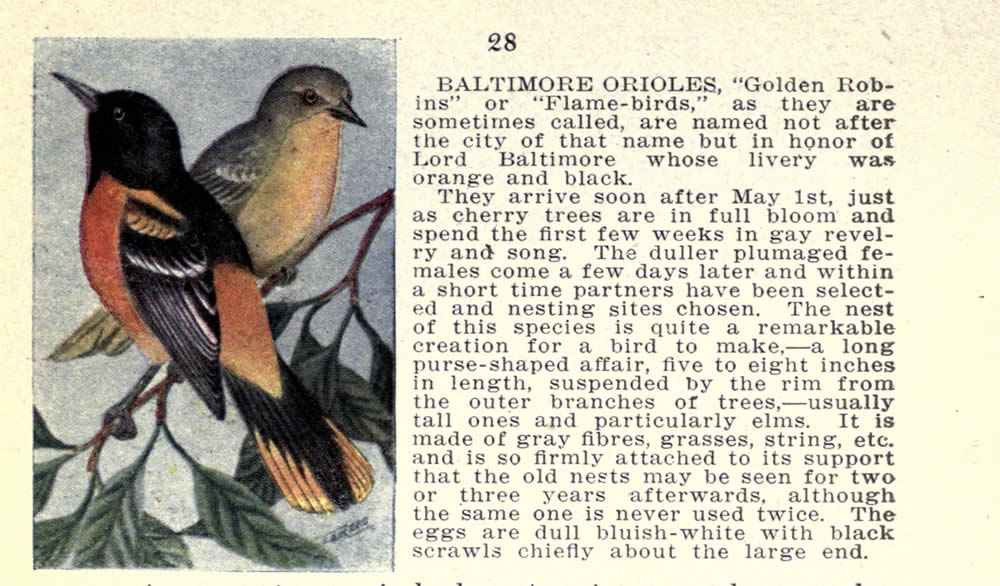 wild_birds_of_new_york_oriole.jpg