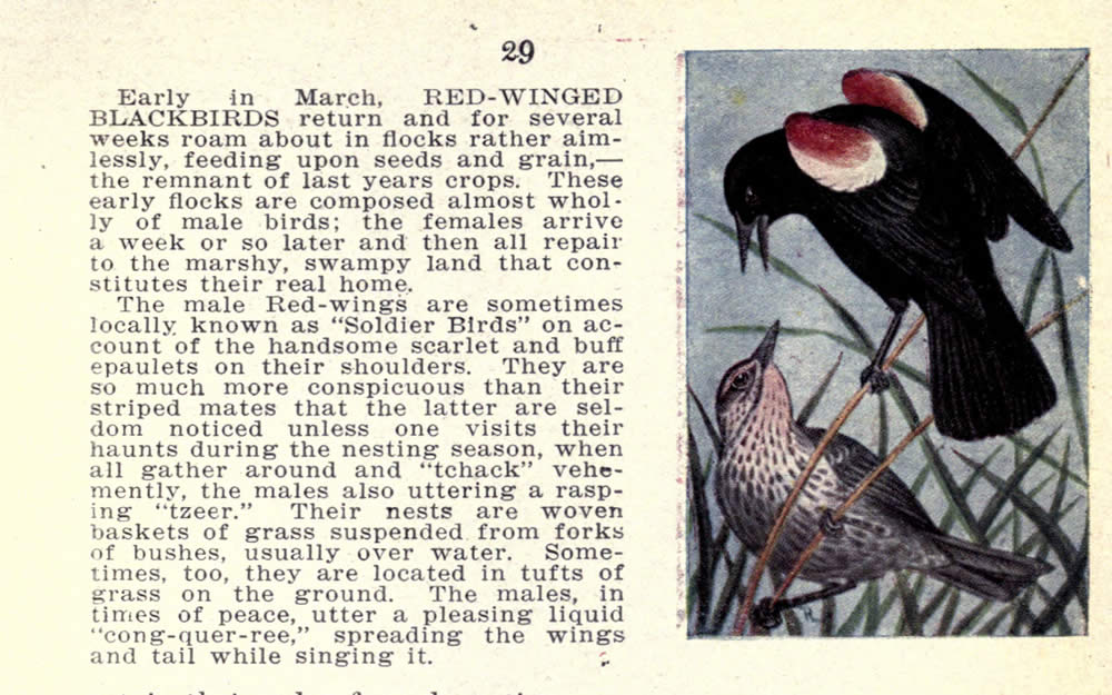wild_birds_of_new_york_redwinged_blackbird.jpg