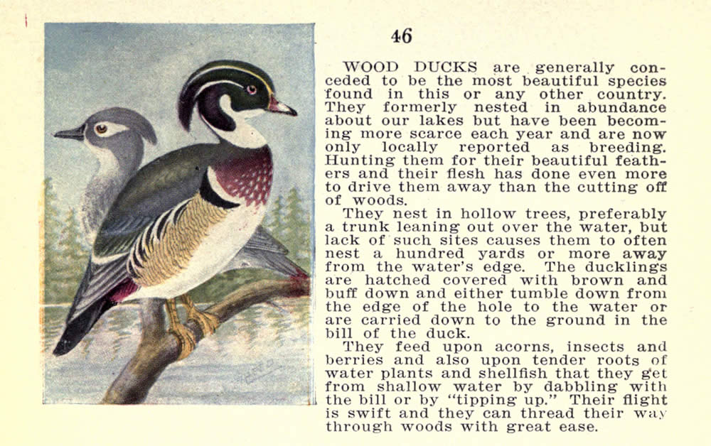 wild_birds_of_new_york_wood_duck.jpg