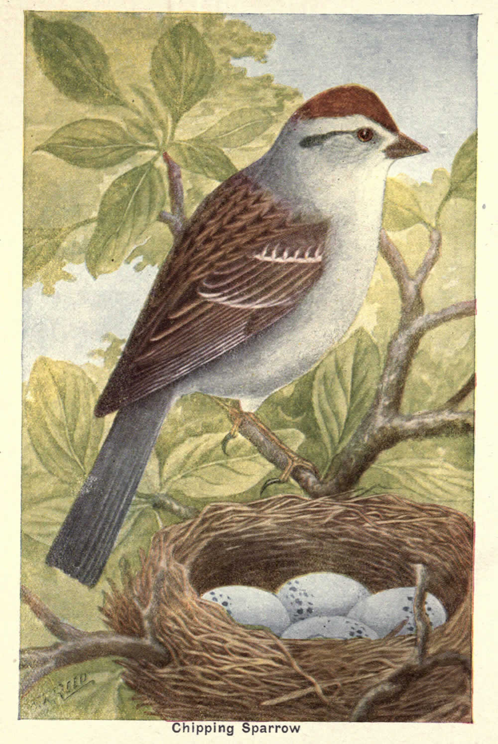 wild birds of ny sparrow cover