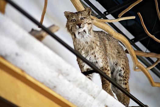 wild center bobcat