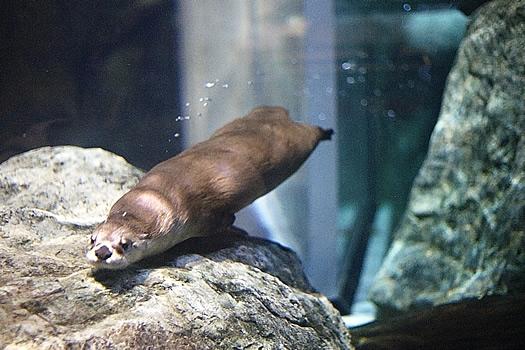 wild center otter 2