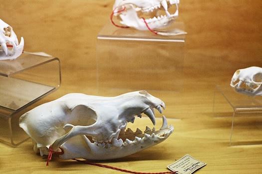 wild center skull