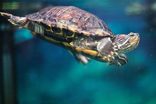 wild center turtle