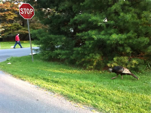 wild turkey buckingham pond neighborhood