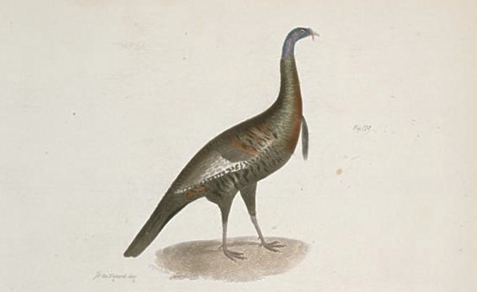 wild turkey zoology of new york