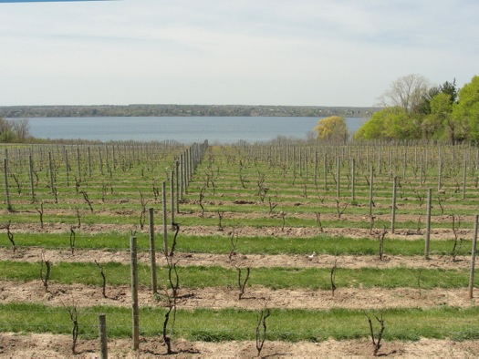 wine touring vines looking down to seneca lake